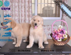 金毛幼犬纯种赛级 包健康现场检测 不纯全额退款