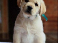 成都犬舍出售精品拉布拉多幼犬一血统纯正一纯种健康