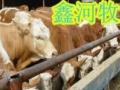 供应山西肉牛场山西肉牛养殖场