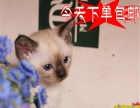 猫舍火爆出售纯种蓝眼睛暹罗猫咪—纯种健康当天包邮猫
