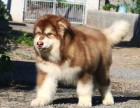 阿拉斯加犬舍专业繁殖巨型熊版纯种阿拉斯加雪橇犬