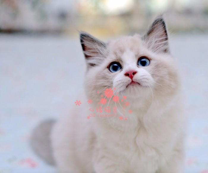长沙哪里有卖布偶猫,两个半月布偶猫多少钱一条