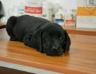 导盲犬拉布拉多出售 公母都有疫苗做齐 欢迎上门挑选