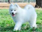 家养雪白漂亮的萨摩耶幼犬宝宝要找新家了,公母都有哦