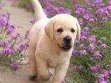 拉布拉多导盲犬 疫苗齐全 可签协议