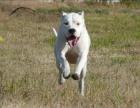 专业繁殖高品质杜高犬犬 服务至上 售后有保障