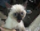 转让暹罗猫 出生将近3个月 好养