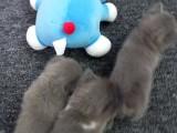 深圳自家小英短3只 可上门看猫猫