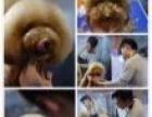 宁波奢艾宠物美容师培训机构-CKU指定宠物美容培训