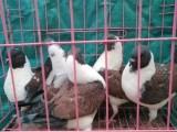 无锡雪花色大体圆环元宝鸽养殖场