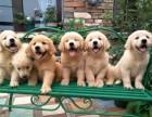 犬舍繁殖金毛宝宝出售,急,价不高要的快来!