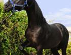 出售骑乘马、宠物马,蒙古马,伊犁马,矮马