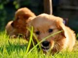 西安出售 纯种金毛幼犬 疫苗齐全出售中 可签协议健康保障