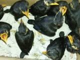 出售越南鷯哥 和尚 亞歷山大 吸蜜 金太陽 玄鳳鸚鵡