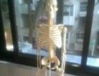 教学专业解剖模型