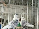观赏鸽养殖场