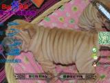 有没有卖带血统的沙皮犬要包健康包纯种的