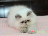 出售可爱加菲猫宝宝带证书纯种健康有保障