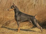 出售纯种杜宾犬 杜宾幼犬 品相好 健康保证