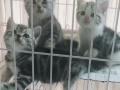 重庆本地家养美短起司和虎斑小猫找铲屎官