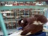 种鸽,肉鸽养殖,肉鸽批发,种鸽批发、观赏鸽等几十种