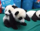 北京天海瑞帆推出四川大熊猫暑期研学夏令营