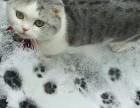 上海广州深圳北京加菲金吉拉豹蓝暹罗无毛猫大概多少钱 双飞猫