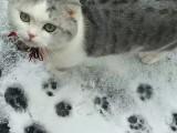 天津福州佛山珠海布偶折耳波斯短毛猫一般多少钱 双飞猫