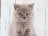蓝猫活体折耳猫幼猫波斯猫布偶猫短毛猫金吉拉猫宠物猫