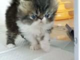 CFA认证猫舍 专业繁殖 波斯猫 血统纯保健康签协议