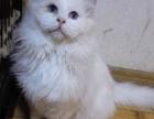 猫舍出售布偶猫咪