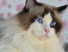 专业繁育猫仙-布偶 长期出售和预定