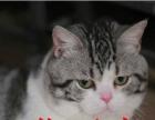 【幸福猫苑】赛级蓝猫,虎斑,渐层,加菲种公借配