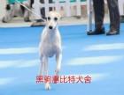 黑驹惠比特出售各种年龄段赛级犬