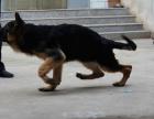 宠物店里的德国牧羊犬黑背可以买吗 健不健康