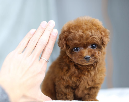 超萌泰迪犬出售 多色可选 签保障协议 送用品
