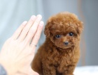 出售颜色齐全身体健康茶杯犬可直接微信挑选