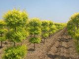 想要至好的中华金叶榆就来菏泽市景鸿苗木基地-安徽金叶榆