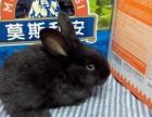 足月的小花兔、小黑兔、小白兔宠物兔子