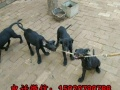 黑狼-黑狼犬幼犬-黑狼犬-黑狼犬价格-黑狼犬养殖场-黑狼幼犬