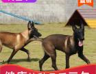 本地出售纯种马犬幼犬,十年信誉有保障