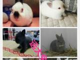 批发零售垂耳兔 道奇兔 猫猫兔 侏儒兔等各种品种