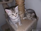 美短虎斑小母猫