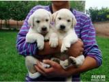 拉布拉多犬-可检查健康-可见大狗-签协议-送货上门