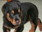纯种罗威那幼犬,凶猛威武,很漂亮哦,可当面交易