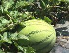 来南沙区泽雨百果园摘倒是有点受宠若惊西瓜,香瓜,三色圣女果,草莓吧!