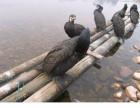 威海哪里出售鱼鹰.鸬鹚