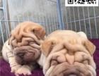 哪里出售沙皮犬 纯种沙皮多少钱