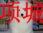 项城本地狗场,销售银狐犬,包纯种健康,可送货