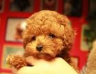 韩国进口泰迪犬来自星星的小体泰迪犬绝对真实